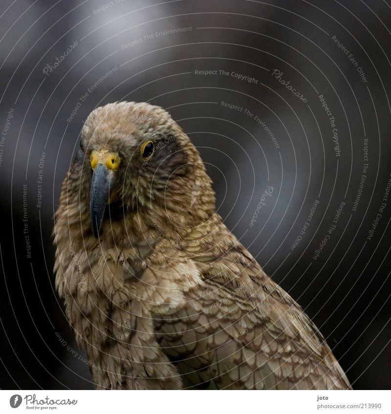KEA nicht IKEA Tier Vogel Kea ästhetisch Natur Papageienvogel selten Auge Blick exotisch wild Hintergrund neutral Tierporträt bräunlich 1 Schnabel