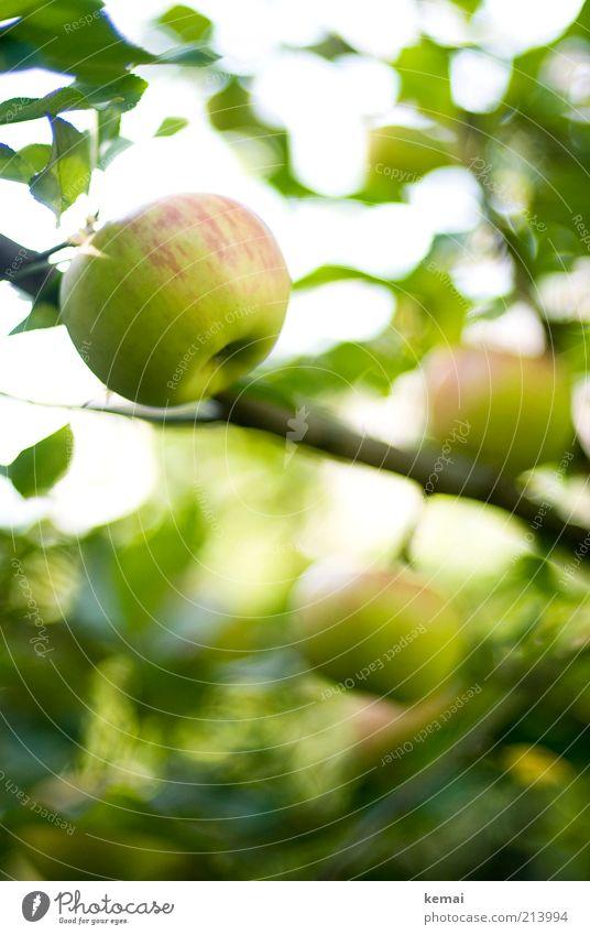 Apfelzeit Lebensmittel Frucht Ernährung Bioprodukte Umwelt Natur Pflanze Sonnenlicht Sommer Herbst Schönes Wetter Baum Blatt Grünpflanze Nutzpflanze Apfelbaum