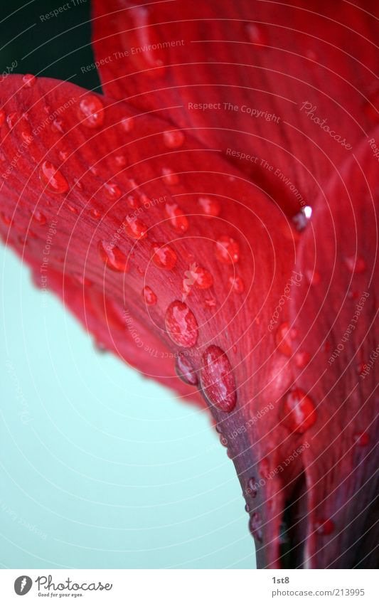 rainy days are back Natur Pflanze Sommer Herbst schlechtes Wetter Regen Blume nass rot Farbfoto Detailaufnahme Makroaufnahme Textfreiraum links