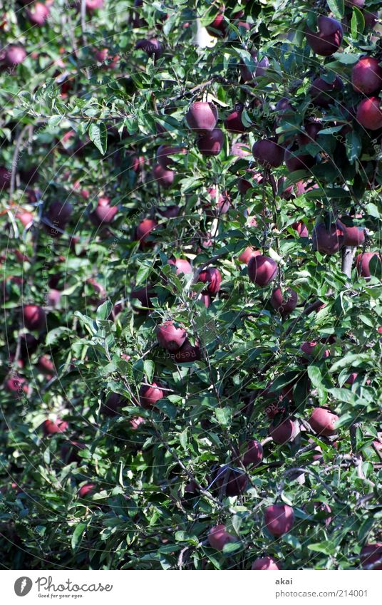 Apfelernte Lebensmittel Ernährung Bioprodukte Sommer Pflanze Baum Blatt Nutzpflanze Garten hängen Wachstum saftig violett rot Red Delicious Farbfoto