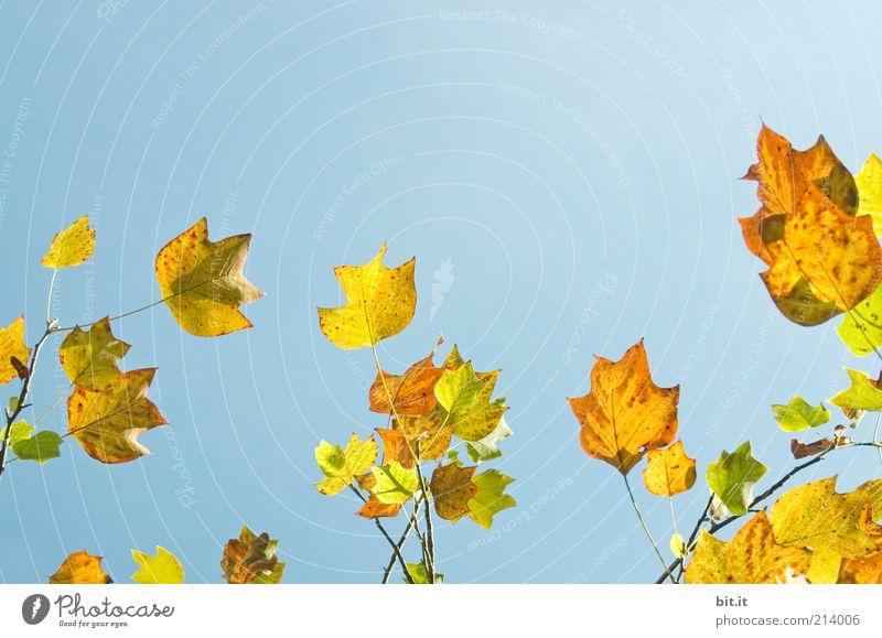 Frisch in den Herbst...(II) Himmel Natur blau Baum Pflanze Blatt ruhig gelb Luft leuchten Urelemente Wandel & Veränderung Schönes Wetter Jahreszeiten Herbstlaub