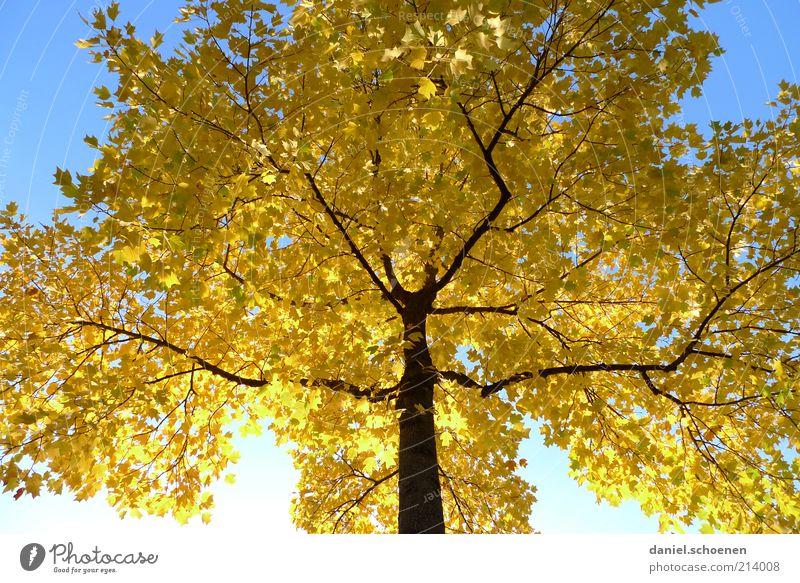 eben Herbst Umwelt Natur Wolkenloser Himmel Klima Schönes Wetter Baum blau gelb Jahreszeiten Schatten Sonnenlicht Froschperspektive herbstlich Herbstlaub