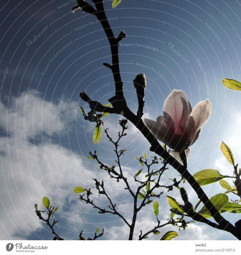 Grüße von Pierre Umwelt Natur Pflanze Luft Himmel Wolken Frühling Klima Schönes Wetter Blatt Blüte Wildpflanze exotisch Magnolienbaum Magnolienblüte