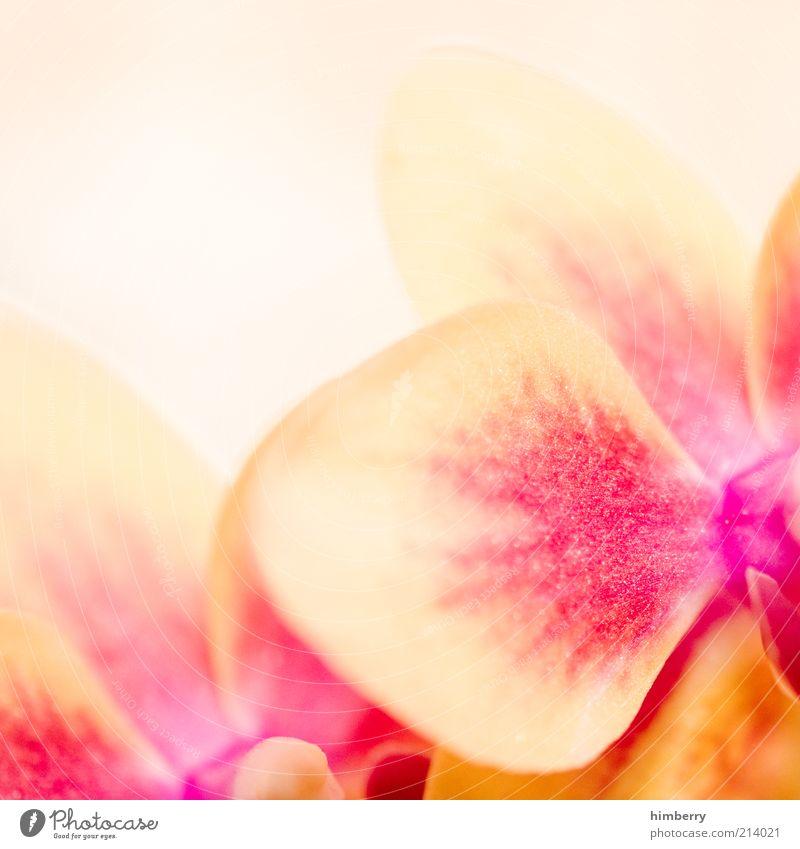 vanillahimbeer Natur Pflanze Frühling Sommer Blume Design einzigartig Farbe rosa Vanille Orchidee Orchideenblüte Farbfoto mehrfarbig Nahaufnahme Detailaufnahme