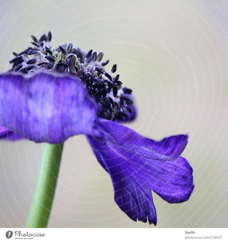 blühende Anemone Anemonen blauviolett elegant ästhetisch Blume Frühlingsblume Romantik verblüht blühende Blume natürlich Duft grau Pflanze Natur Blütenblatt