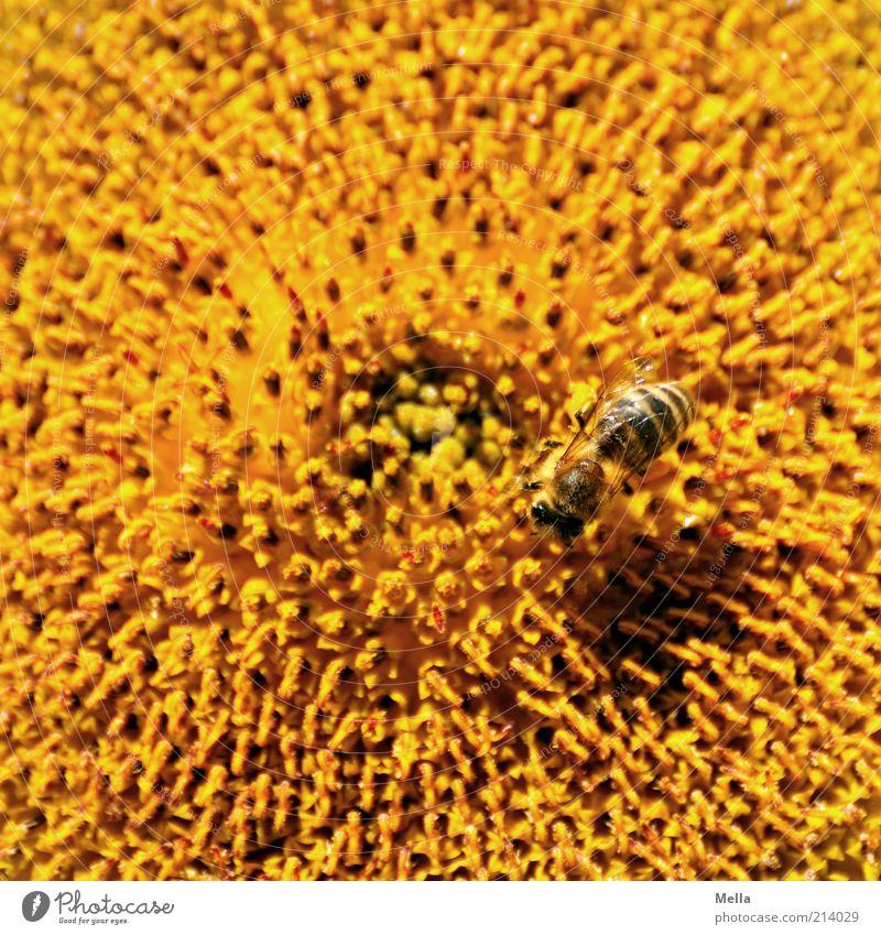 All summer long Umwelt Natur Pflanze Tier Sommer Blume Blüte Sonnenblume Biene 1 natürlich positiv gelb fleißig Farbe sammeln Honigbiene Pollen Makroaufnahme