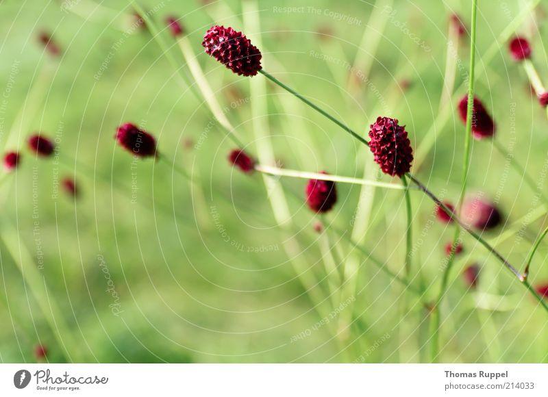 rot und grün Natur schön Blume grün Pflanze rot Sommer Blatt Wiese Blüte Gras Frühling Sträucher Lebensfreude natürlich Grünpflanze