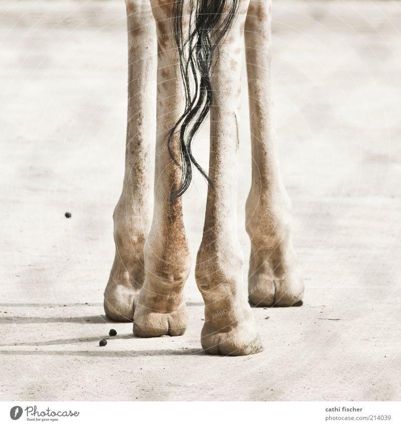 grazil Erde Sand Tier Wildtier Fell Zoo Giraffe 1 stehen braun schwarz gefleckt Locken Huf Säugetier Paarhufer Hinterbein Beine dreckig Safari Savanne Quadrat