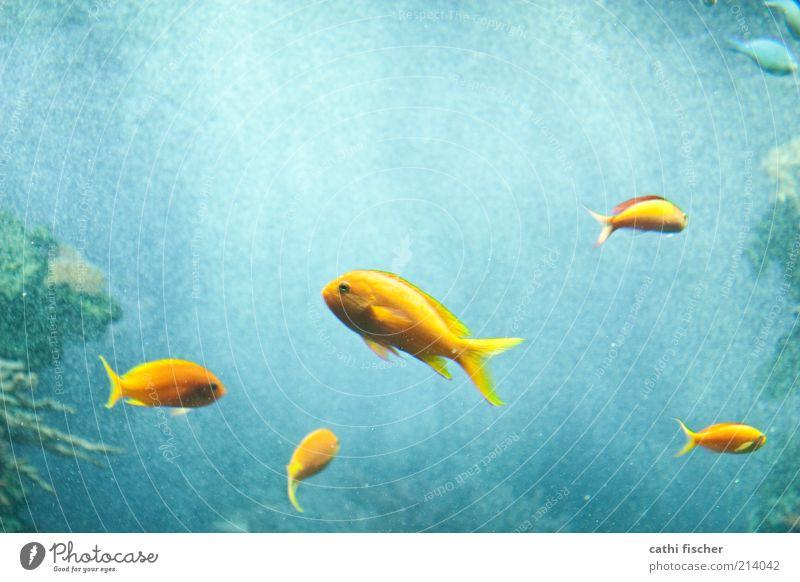 komplementärfarben Wasser Tier Fisch Zoo Aquarium Tiergruppe Tierfamilie blau gelb grün Luftblase Flosse Auge Bewegungsunschärfe Komplementärfarbe Meer