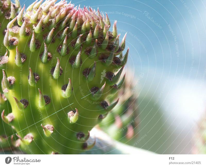 Kaktus 2 grün Italien Unschärfe blau Stachel Makroaufnahme Nahaufnahme