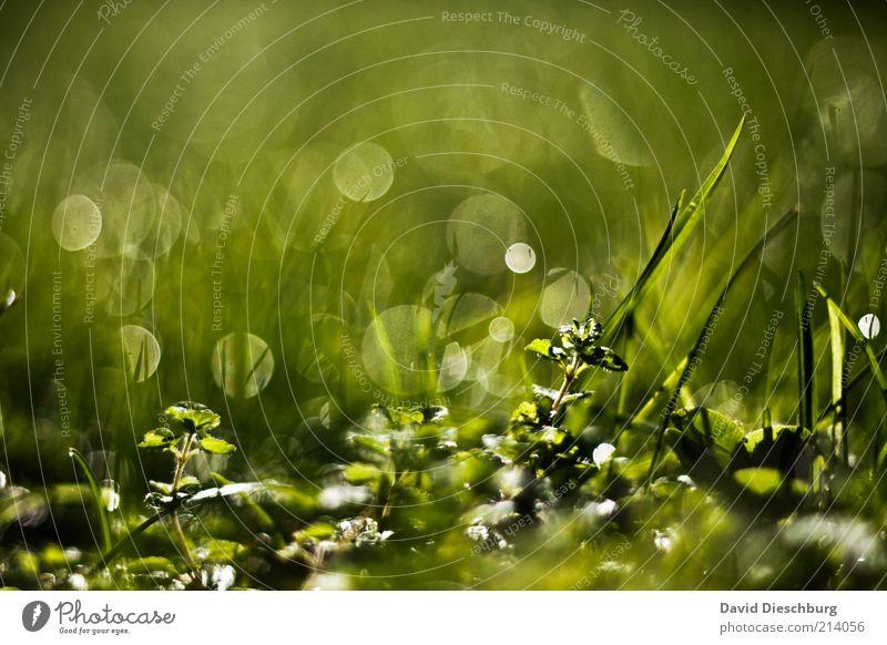 Tau-o'clock Natur Wasser grün Sommer Pflanze Frühling Gras Hintergrundbild glänzend nass Wassertropfen feucht Sonnenlicht Grünpflanze Lichtpunkt