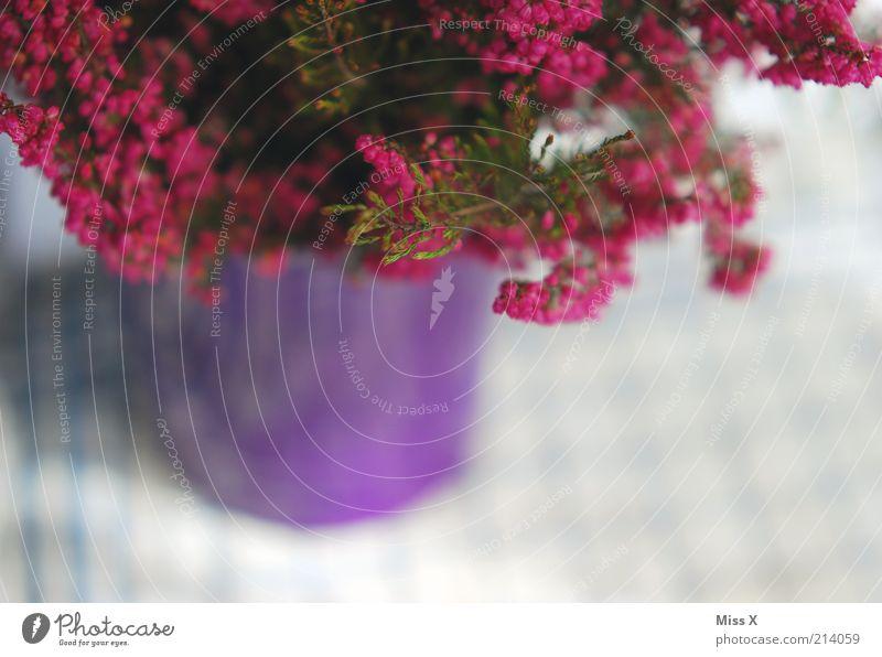 für Oma Erika Dekoration & Verzierung Pflanze Blume Sträucher Blüte Topfpflanze Blühend Duft dehydrieren violett rosa Bergheide Heidekrautgewächse Blumentopf