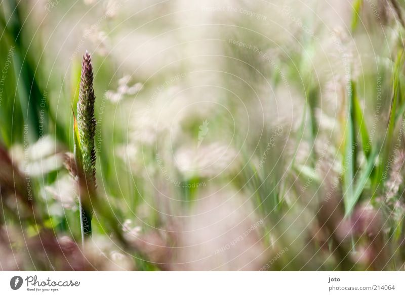 in der Wiese haben wir gelegen.. Natur grün Pflanze Sommer Wiese Leben Frühling Gras hell Hintergrundbild frisch ästhetisch einzeln zart Blühend Duft