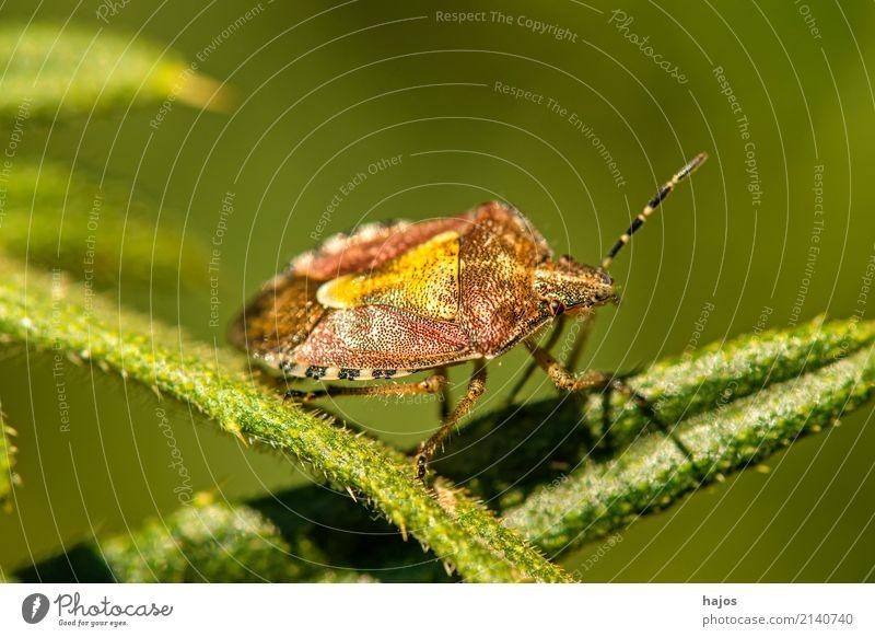 Beeren-Wanze, Dolycois baccarum L. Natur Tier Blatt grün Beerenwanze Insekt Heteroptera Panzer Schild Zoologie Deutschland Farbfoto Nahaufnahme Makroaufnahme
