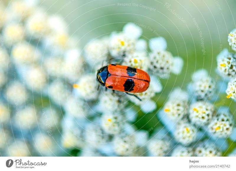 Blutzikade, Cercopsis sanguinolenta auf Blüte Leben Natur Tier Wildtier Käfer bedrohlich rot schwarz Halm Schaumzikade Insekt einheimisch Deutschland Rote Liste