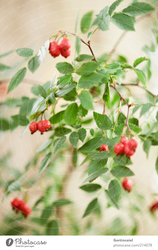 Rosa canina Umwelt Natur Herbst Pflanze Sträucher Blatt grün rot Hagebutten herbstlich Hundsrose Frucht Beerensträucher Farbfoto Außenaufnahme