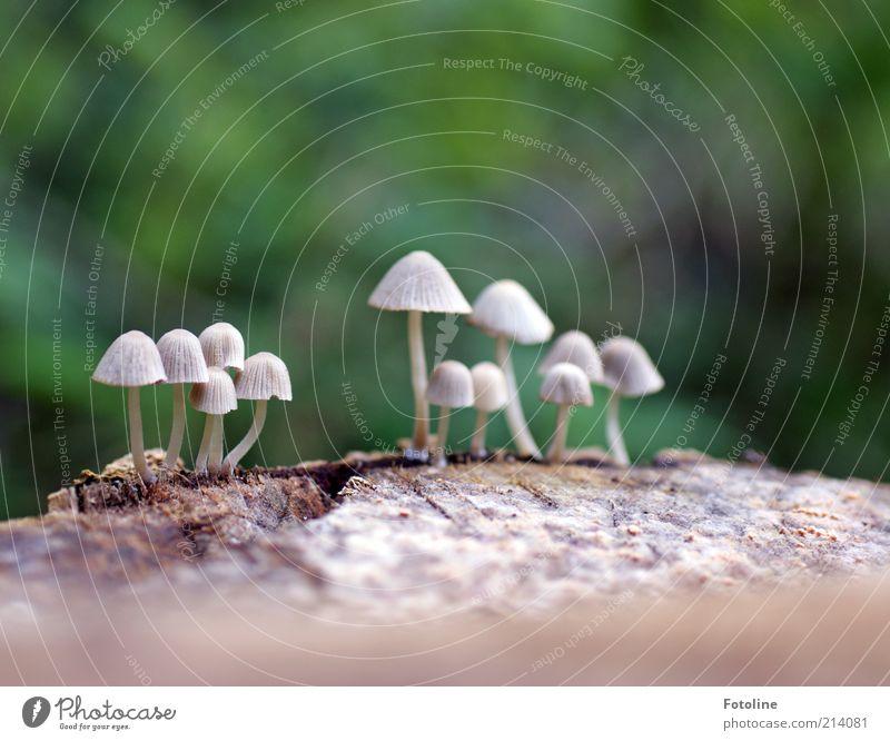 Pilzversammlung Umwelt Natur Pflanze Urelemente Erde Herbst Wildpflanze Wachstum hell natürlich grün weiß Pilzhut Farbfoto mehrfarbig Außenaufnahme Nahaufnahme
