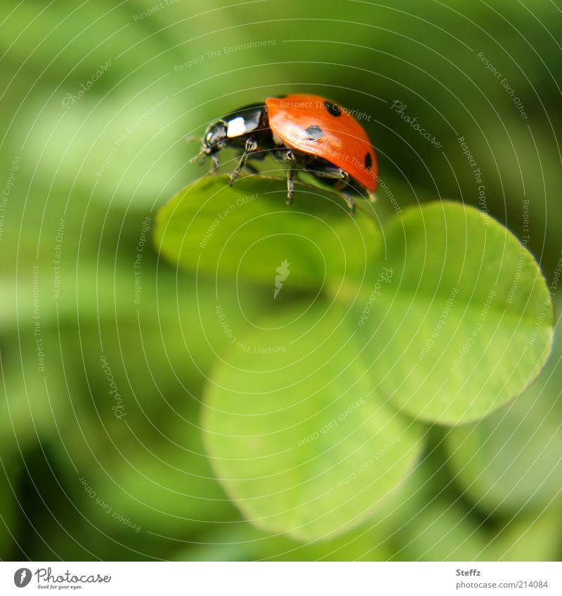 einen Wunsch frei Natur Pflanze grün Sommer rot Tier Glück Wunsch Insekt Leichtigkeit leicht krabbeln Käfer Marienkäfer Glückwünsche Klee