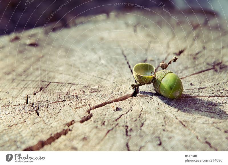 Stammgast Natur Baum Herbst Holz natürlich Baumstamm Riss Maserung Frucht herbstlich Baumfrucht Eicheln Baumstumpf