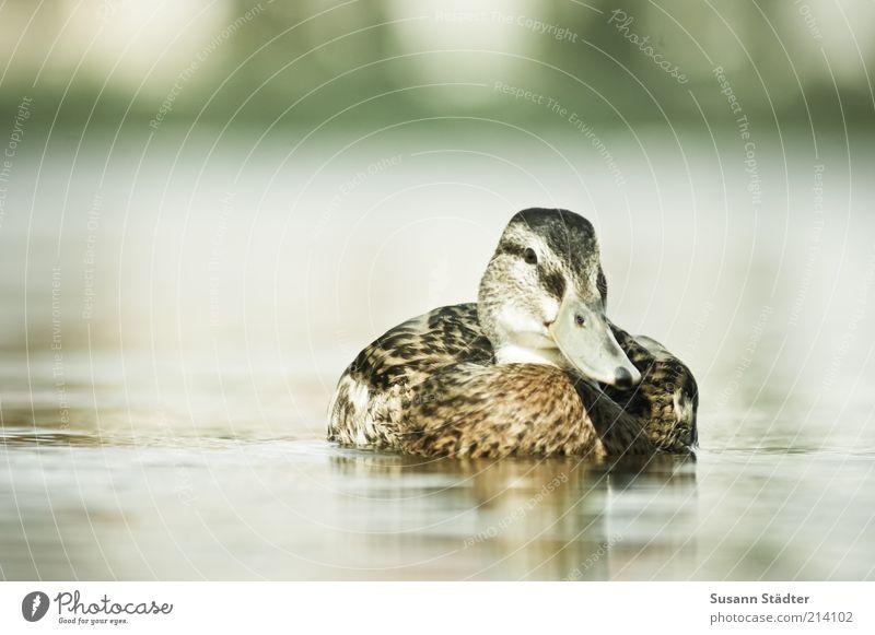 Ente gut, alles gut Einsamkeit Tier See Vogel Küste Tiergesicht Schwimmen & Baden Wildtier Glätte Im Wasser treiben sommerlich Erpel wellenlos