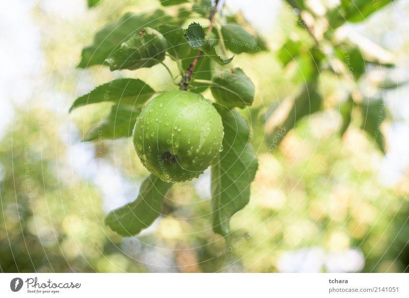 Grüner Apfel Frucht Essen Sommer Garten Natur Pflanze Herbst Baum Blatt Tropfen Wachstum lecker natürlich saftig grün Farbe Obstgarten Ast Ernte reif Gesundheit