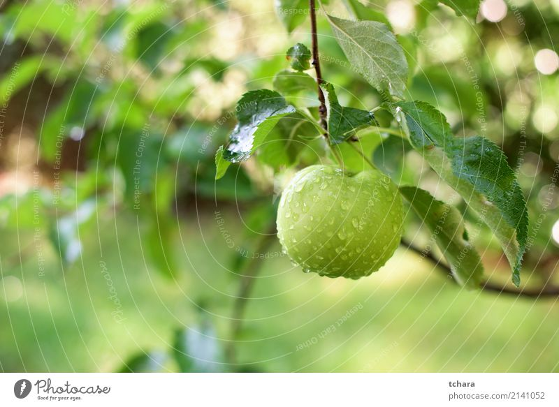 Ein grüner Apfel Frucht Essen Sommer Garten Natur Pflanze Herbst Tropfen Wachstum frisch lecker natürlich saftig rot Farbe Obstgarten Ast Ernte reif Gesundheit