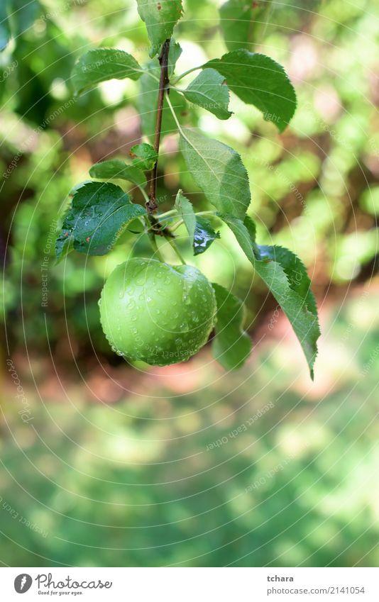 Grüner Apfel Frucht Essen Sommer Garten Natur Herbst Baum Tropfen Wachstum lecker natürlich saftig grün rot Farbe Obstgarten Ast Ernte reif Gesundheit organisch
