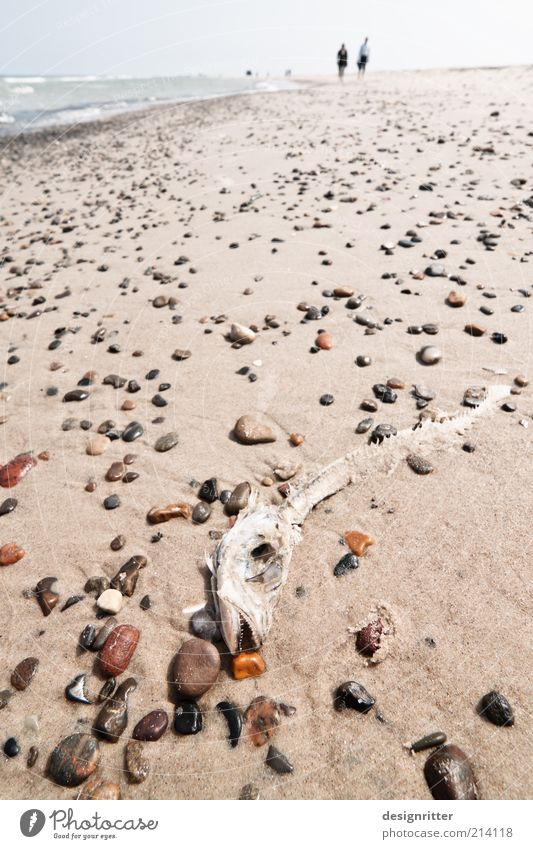 Strand-gut? Küste Nordsee Meer Wildtier Fisch Fischgräte Fischkopf Skelett liegen wandern Strandwanderung Dänemark Lønstrup Jütland Stein Sand trocken