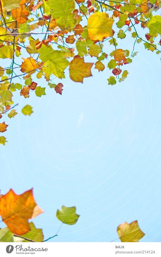 Frisch in den Herbst...(III) Natur Himmel blau Pflanze Blatt gelb Hintergrundbild gold Vergänglichkeit Ast Postkarte Jahreszeiten Zweig Rahmen Blauer Himmel