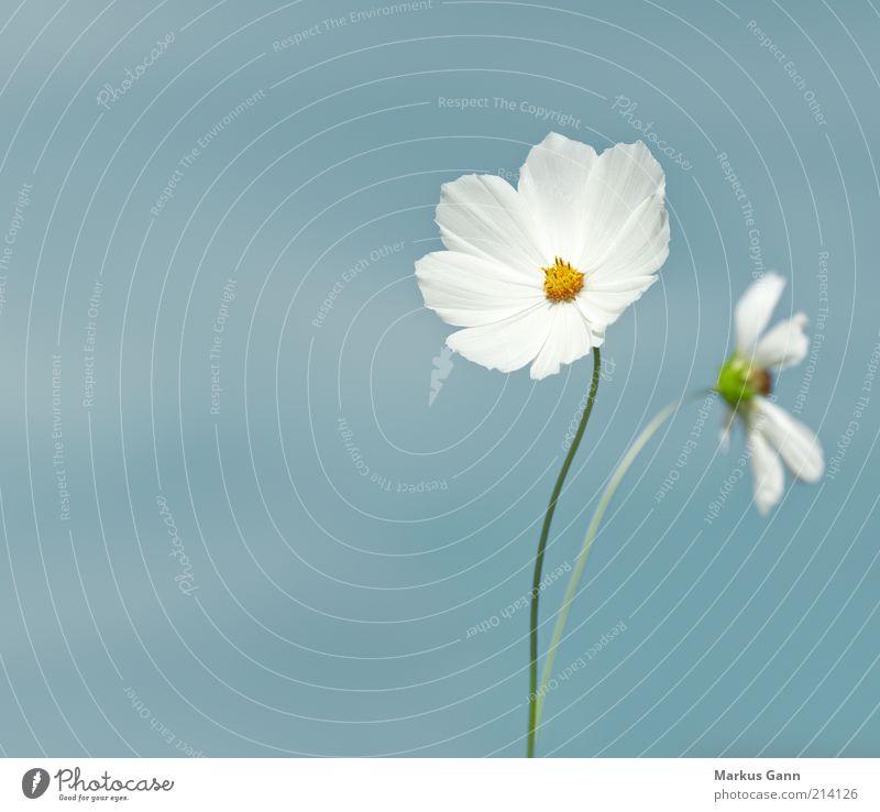 Schmuckkörbchen Sommer Natur Pflanze Blume einfach gelb weiß Einsamkeit zart Botanik grau Korbblütler Asteroideae Heliantheae Coreopsidinae bipinnatus einjährig