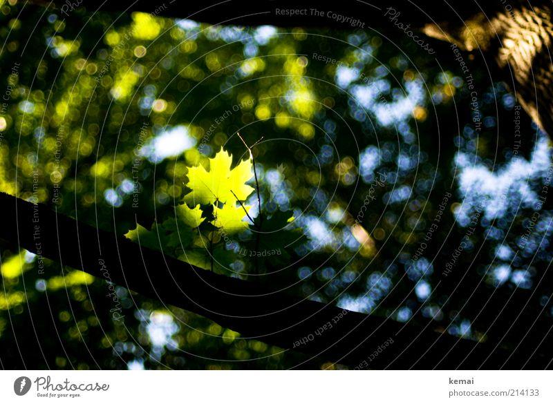 Blatt im Spotlight Natur grün Baum Pflanze Sommer Umwelt hell Wachstum leuchten einzigartig Schönes Wetter Lebensfreude Baumstamm Ahornblatt Ahorn Grünpflanze