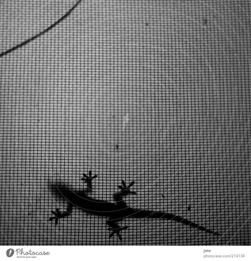 gecco ruhig Einsamkeit Tier Erholung elegant Design Geschwindigkeit ästhetisch Netzwerk entdecken Schwarzweißfoto Gegenlicht Gitter Echte Eidechsen schleichen Gitternetz