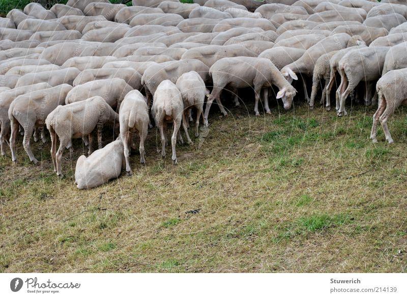 ...mmääähh Gras Landschaft Stimmung ästhetisch trist Rasen stehen liegen viele Schaf Fressen Tier Dürre Herde Grünpflanze Nutztier