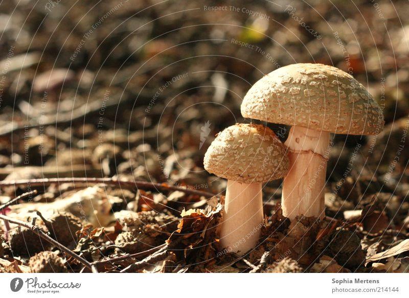 Schützend Natur Herbst braun Erde rund Schönes Wetter Waldboden Pilzhut natürliche Farbe