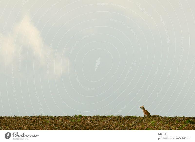 Fabelwelten - Reineke Fuchs Natur Himmel Einsamkeit Tier Freiheit Landschaft Feld klein Umwelt Erde sitzen natürlich Wildtier Erwartung Mythologie