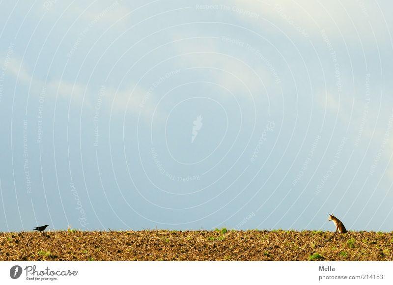 Fabelwelten - Fuchs und Rabe: Kontaktaufnahme Natur Himmel Tier Freiheit Landschaft Vogel Feld klein Umwelt frei Erde sitzen beobachten Vertrauen natürlich außergewöhnlich