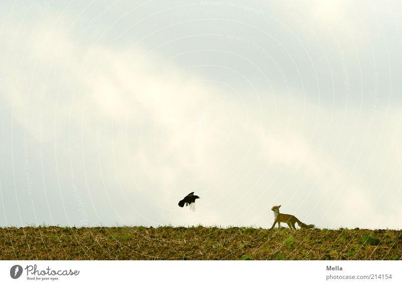 Fabelwelten - Fuchs und Rabe: Annäherung Umwelt Natur Landschaft Tier Erde Himmel Feld Wildtier Vogel Krähe Rabenvögel 2 Bewegung fliegen stehen außergewöhnlich