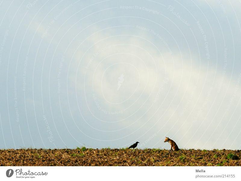 Fabelwelten - Fuchs und Rabe: Zwiegespräch Natur Himmel Tier sprechen Freiheit Landschaft Zusammensein Vogel Feld Umwelt frei Erde sitzen Kommunizieren