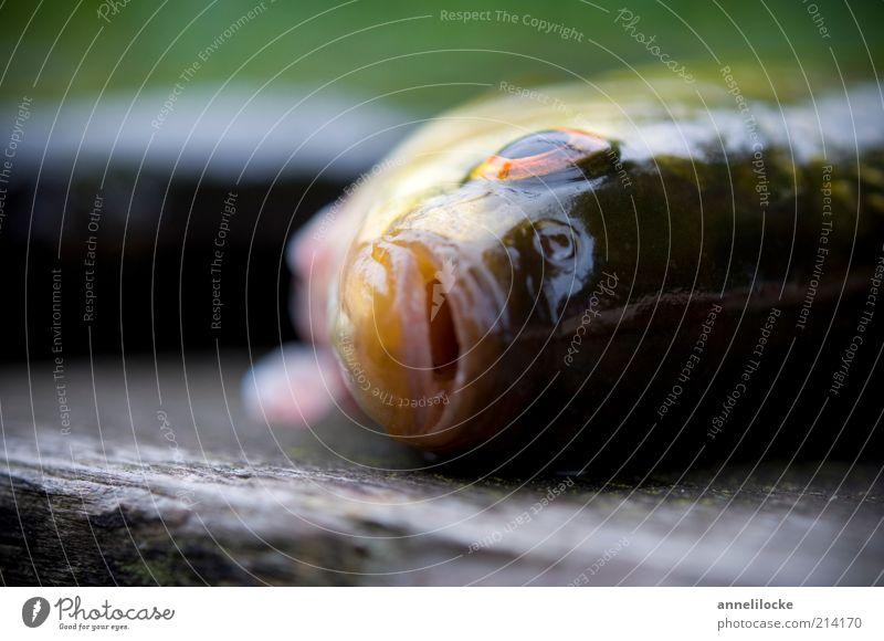 ) : Auge Ernährung Tier Tod Traurigkeit Lebensmittel Umwelt frisch Fisch Trauer Tiergesicht liegen Freizeit & Hobby fangen Wildtier lecker
