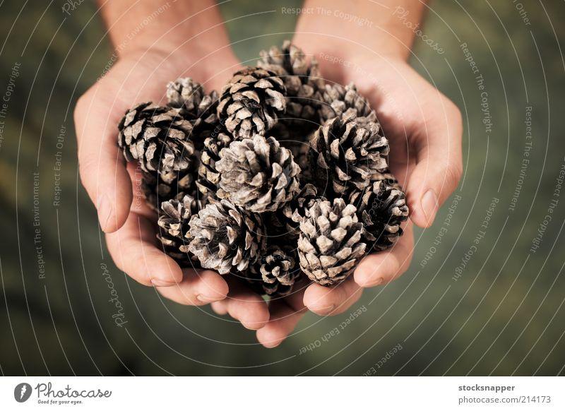 Kiefernzapfen Zapfen Kegel Hände schalenförmig Hand Beteiligung Griffe Natur natürlich Objektfotografie