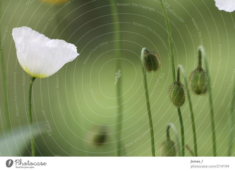 Weißer Mohn Natur weiß Blume grün Pflanze Sommer Freude Blatt Wiese Blüte elegant Umwelt Wachstum Freizeit & Hobby