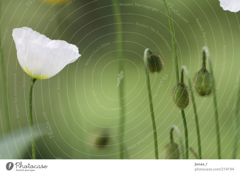 Weißer Mohn Sommer Umwelt Natur Pflanze Blume Blatt Blüte Grünpflanze Wildpflanze Mohnblüte Wiese elegant Freizeit & Hobby Freude Kreativität Farbfoto