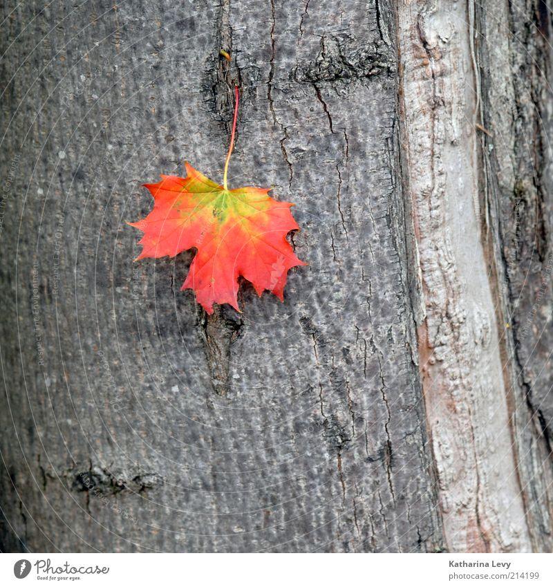 new season Natur Pflanze Baum Blatt alt authentisch natürlich gelb grau rot Inspiration Verfall Vergänglichkeit Wandel & Veränderung Zeit Herbst Baumrinde