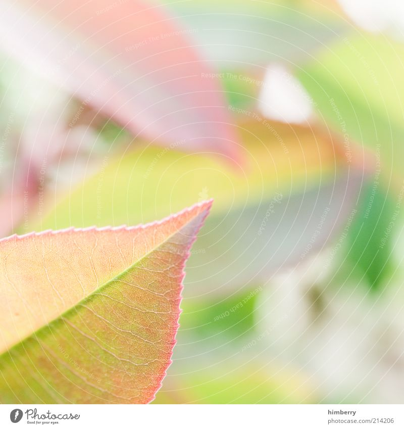 blattsalat Natur grün Pflanze Sommer Blatt Stil Frühling rosa Design Umwelt Wachstum weich Dekoration & Verzierung zart Duft harmonisch