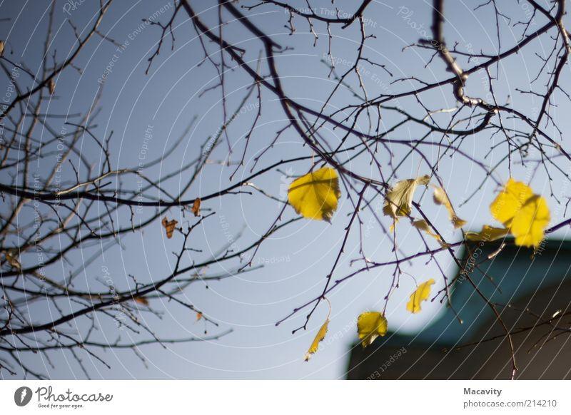 Brühl Herbst Baum Blatt dehydrieren trist braun gelb gold Stimmung Vergänglichkeit Wandel & Veränderung Farbfoto Dämmerung herbstlich Herbstwetter Herbstlaub