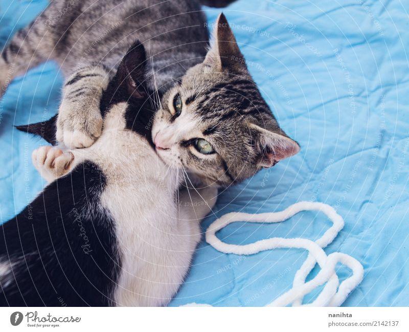 Zwei Katzen, die zusammen spielen Stoff Tier Haustier Tiergesicht 2 Tierpaar Tierjunges genießen kämpfen Spielen Umarmen Freundlichkeit Fröhlichkeit gut schön
