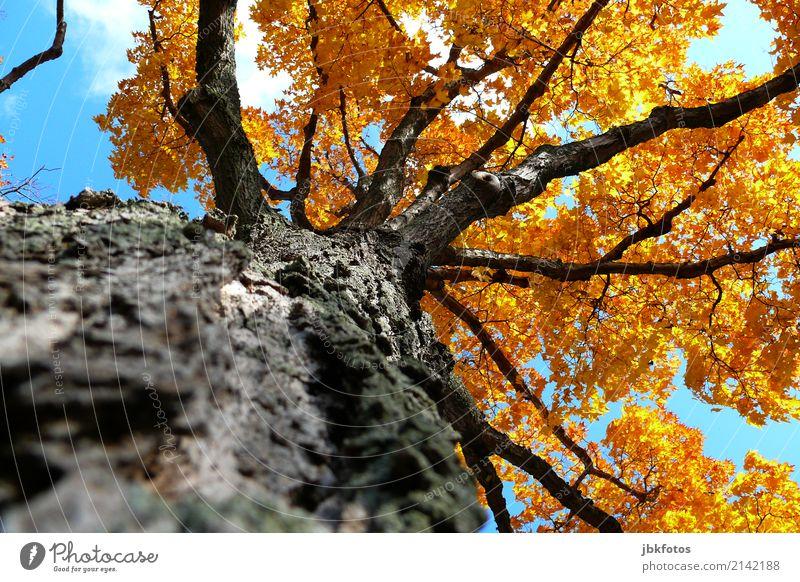 Lebensbaum Umwelt Natur Pflanze Luft Himmel Sonnenlicht Sommer Herbst Klimawandel Wetter Schönes Wetter Baum Blatt Ahorn Spitzahorn Park Wald Kitsch anschaulich