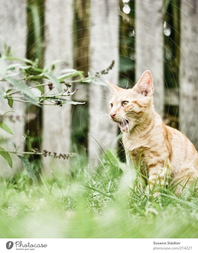 miau rot Tier Wiese Gras Garten Katze sitzen Sträucher Tiergesicht natürlich Fell Wachsamkeit Haustier rothaarig Maul Zaun