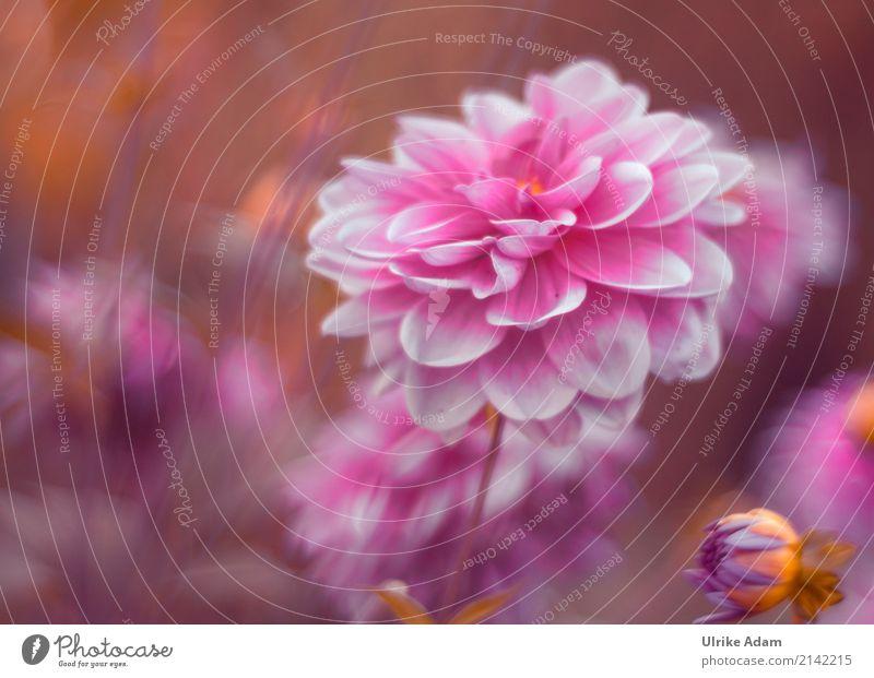 Rosa Dahlien Umwelt Natur Pflanze Sonnenlicht Sommer Herbst Schönes Wetter Blume Blüte Garten Park Blühend leuchten träumen außergewöhnlich elegant frisch Wärme