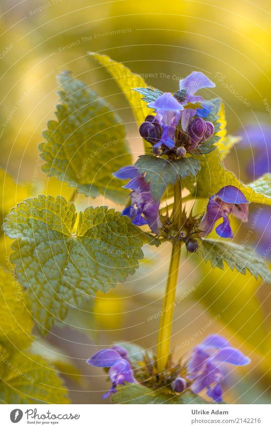 Blaue Blüten der Taubnesseln (Lamium) Natur Pflanze blau Sommer grün Erholung Blatt ruhig Leben Gesundheit Frühling Wiese Garten Zufriedenheit hell